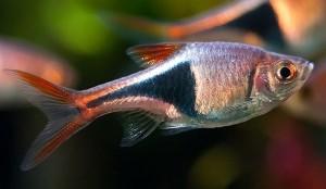 Harlequin Raspora (Rasbora heteromorpha)