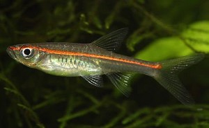 Redline Rasboras (R. pauciperforata)