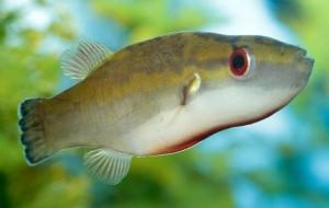 Bornean Red-Eye Puffer (Carinotetraodon borneensis)