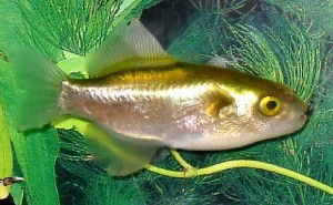 Golden Puffer (Auriglobus modestus)