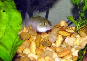 Greenbottle Pufferfish (Auriglobus nefastus)