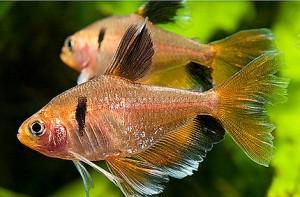 Longfin Serpae Tetra (Hyphessobrycon eques).