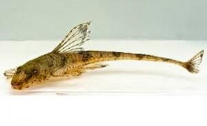 Loricaria Catfish (Loricaria sp.) .