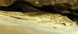 Loricaria Catfish (Loricaria sp.)