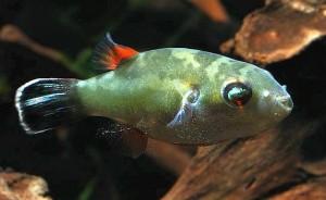 Male Bornean red-eye puffer (Carinotetraodon borneensis)