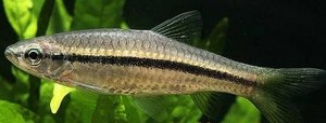 Slender Rasbora (Rasbora daniconius)