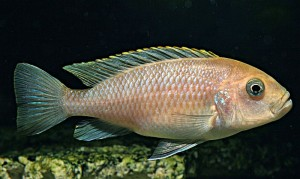 Adult Female Afra Edwardi (Cynotilapia zebroides - Cobue)