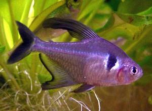 Black Phantom Tetra (Hyphessobrycon megalopterus)