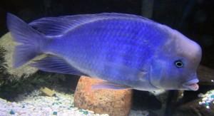 Blue Moorii Cichlid (Cyrtocara moorii)