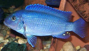 Male Pearl Cobalt Blue Zebra Cichlid (Metriaclima callainos)