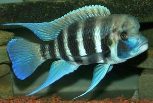 Frontosa Cichlid (Cyphotilapia frontosa)