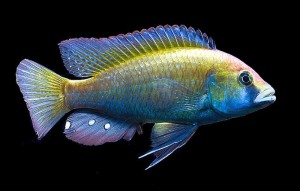 Eastern Happy (Astatotilapia calliptera)