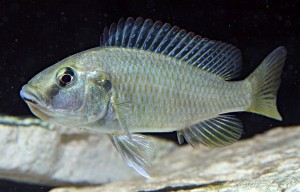Female Eastern Happy (Astatotilapia calliptera)