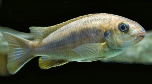 Female Orange Top Moori (Gephyrochromis moorii)