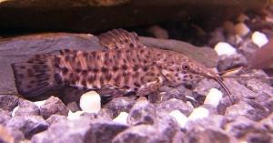 Hoplo Catfish (Hoplosternum thoracatum)