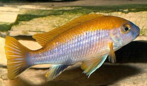 Male Orange Top Moori (Gephyrochromis moorii)