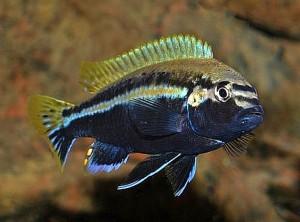 Golden Mbuna (Melanochromis auratus)