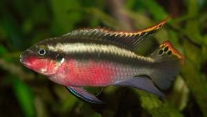 Kreibensis (Pelvicachromis pulcher)
