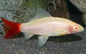 Redtail Black Shark (Epalzeorhynchos bicolor) Albino Form