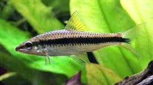 True Siamese Algae Eater - Crossocheilus siamensis