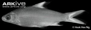 Siamese-bala-shak-specimen