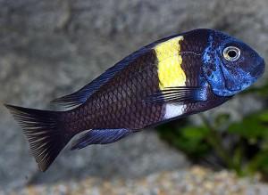 Tropheus Duboisi - Maswa