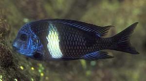 Tropheus duboisi - Burundi