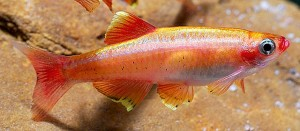 Golden White Cloud (Tanichthys albonubes)
