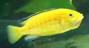Electric Yellow Cichlid (Labidochromis caeruleus)
