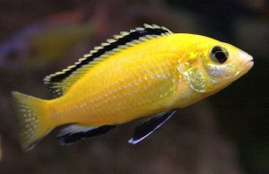 Electric Yellow Cichlid (Labidochromis caeruleus).