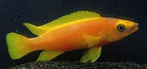 Lemon Cichlid (Neolamprologus leleupi) .