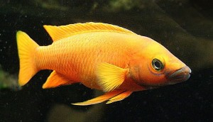 Lemon Cichlid (Neolamprologus leleupi)
