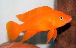 Lemon Cichlid (Neolamprologus leleupi) (Orange)