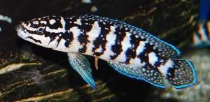 Marliers Julie (Julidochromis Marlieri)