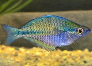 Australian Rainbowfish (Melanotaenia fluviatilis)