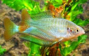 Australian Rainbowfish (Melanotaenia fluviatilis) (Murrumbidgee River)