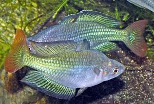 Australian Rainbowfish (Melanotaenia fluviatilis) Rudie Kuiter