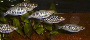 Australian Rainbowfish (Melanotaenia fluviatilis) School