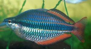 Banded Rainbowfish (Melanotaenia Trifasciata) [Goyder River]