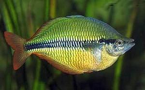 Banded Rainbowfish (Melanotaenia Trifasciata) [Goyder River, Jewel]
