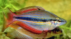 Banded Rainbowfish (Melanotaenia Trifasciata) [Rocky Bottom Creek, Goyder R]