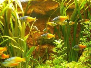 Boeseman's Rainbowfish (Melanotaenia boesemani) School