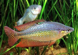 Eastern Rainbowfish (Melanotaenia splendida splendida)