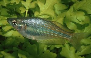 Eastern Rainbowfish (Melanotaenia splendida splendida) Rudie Kuiter
