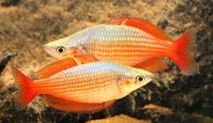 Eastern Rainbowfish (Melanotaenia splendida splendida) (Wallaby Creek, Annan River)