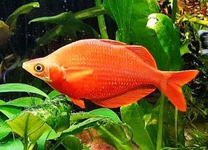 Red Rainbowfish (Glossolepis incisus)