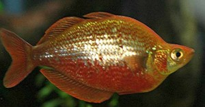 Red Rainbowfish (Glossolepis incisus)