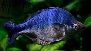 Turquoise Rainbowfish (Melanotaenia lacustris)