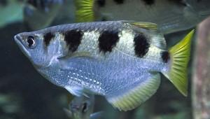 Banded Archer Fish (Toxotes jaculatrix)