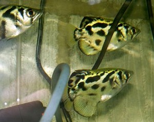 Clouded Archerfish School (Toxotes blythii)
